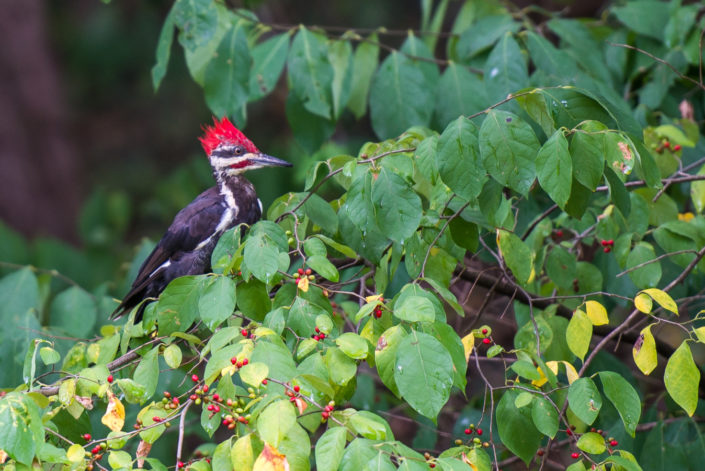 woodpecker in bush